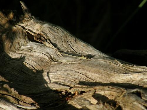 Damselfly on bleached tree root