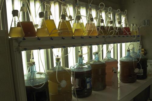 Full shelves of phytoplankton culture
