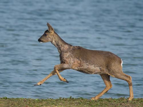 Roe Deer-sprint