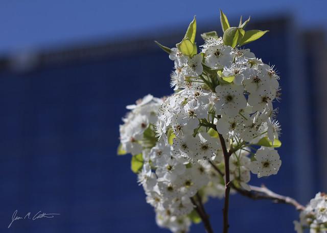 040712 Blossoms at IMC