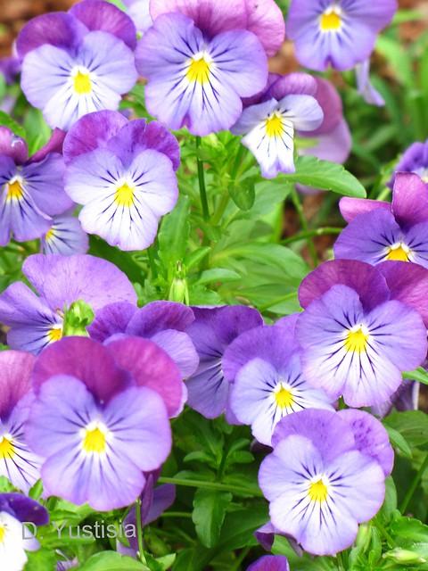 Bi-color Pansies