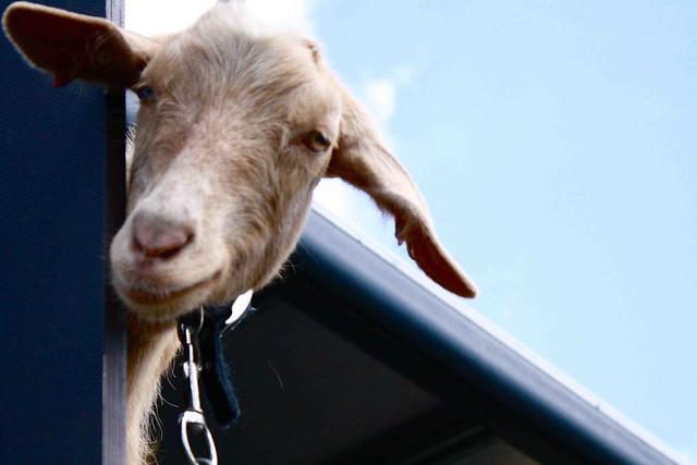 Goat smile