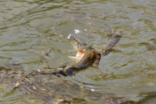 Fish Eating Matzah