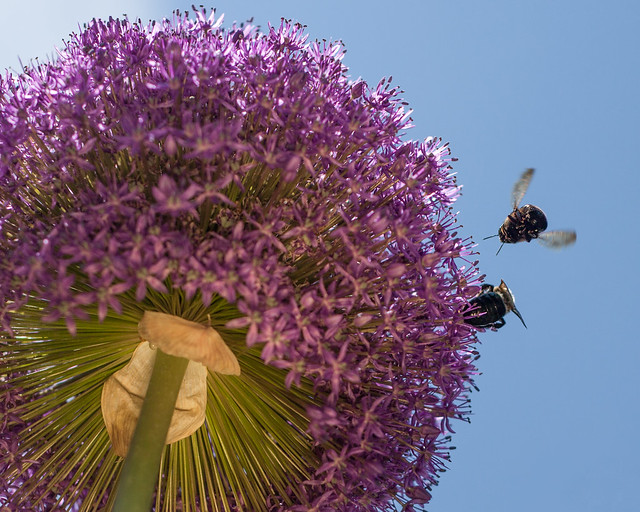 Bees on onion flower
