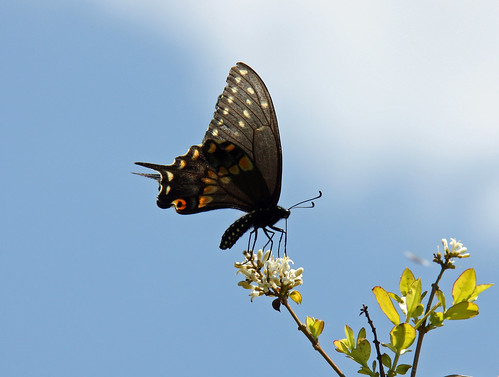 Black swallowtail butterfly by aimeesblog