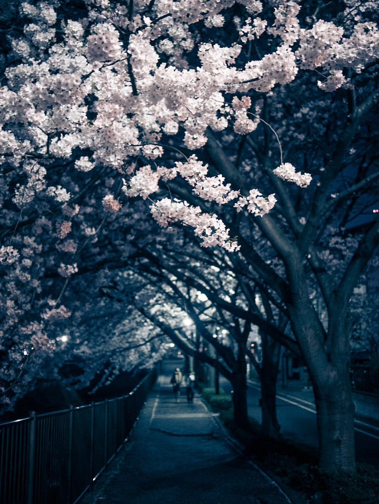 Tomorrow, the cherry blossoms will fall due to the rain