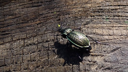 Ground Beetle (Carabus granulatus)) by bill kralovec