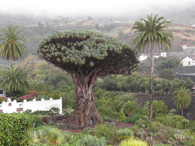 Тысячелетнее драконово дерево // Thousand-year-old Dragon Tree