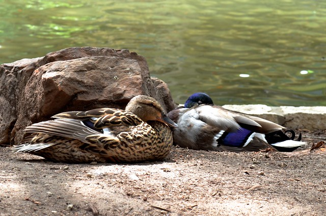 Sleepy Ducks