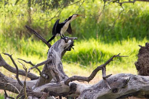 Little Pied Cormorant 2012-05-01 (_MG_7194)