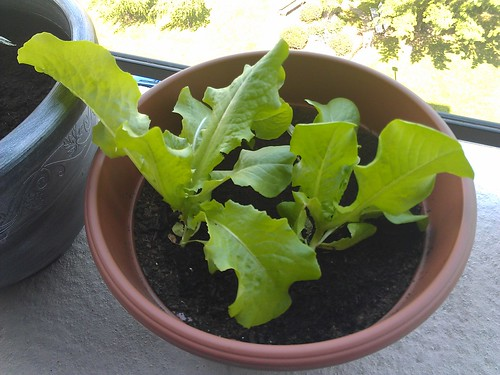 Lettuce is massive!