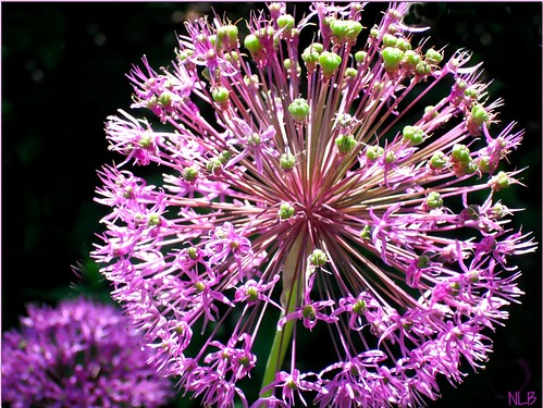 ~ Allium an Explosion of Color~