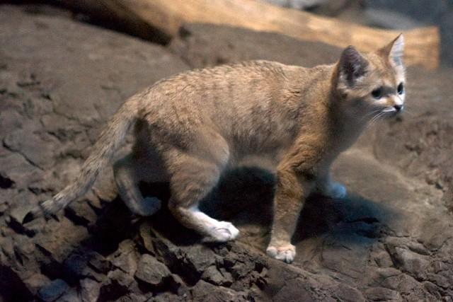 Standing Sand Cat