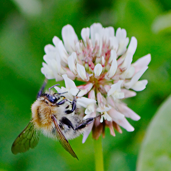 Famille des Apidae