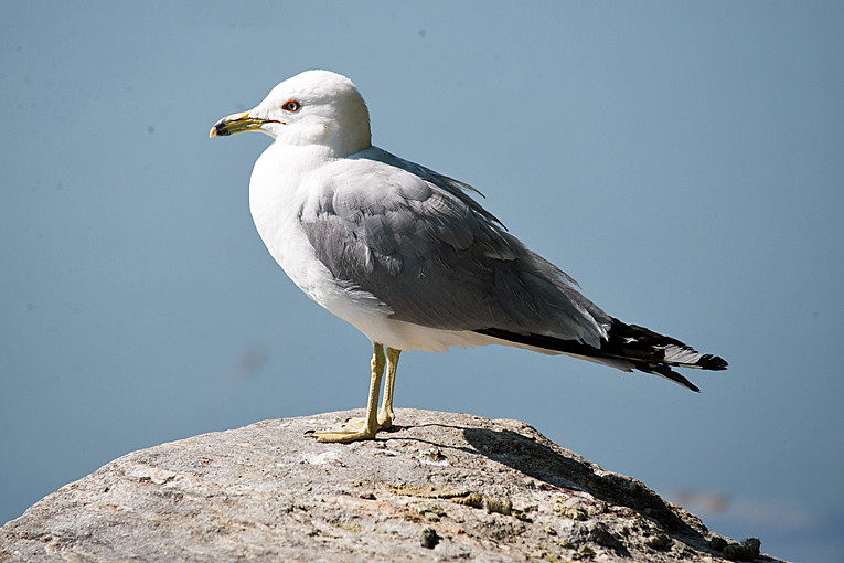 _DSC0924 Ring-billed Gull