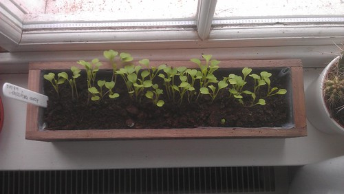 Rocket 'Skyrocket' seedlings