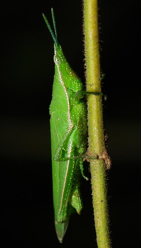 Vegetable Grasshopper (Atractomorpha sinensis)