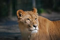 Afrikanische Löwin Kibibi im Zoo in der Wingst