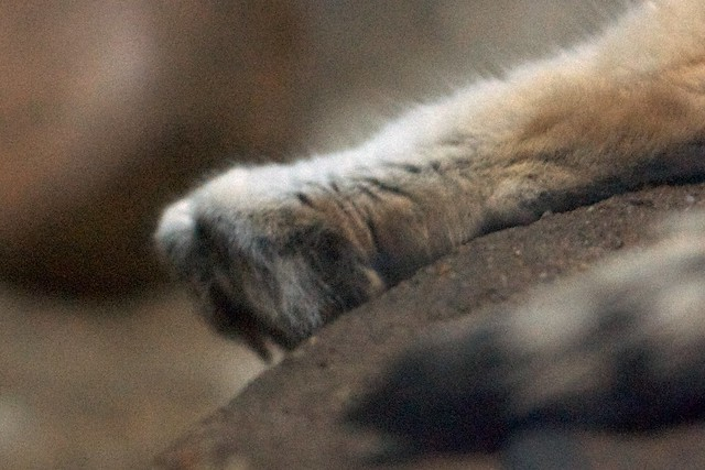 Sand Cat Toes