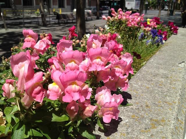 Pink snapdragon flowers (Antirrhinum majus, Scrophulariaceae)