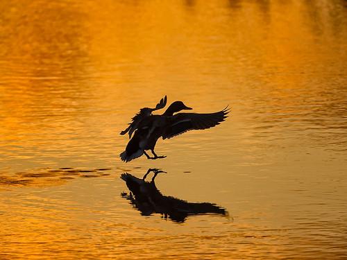 Duck at dawn