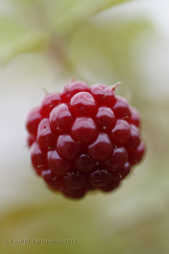 Wild berries from the Province of Northern Savonia - Arctic bramble (Rubus arcticus) 9