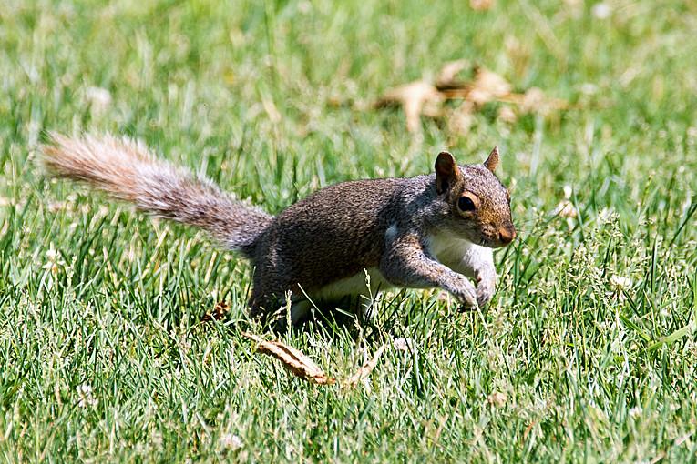_DSC0994 Grey Squirrel