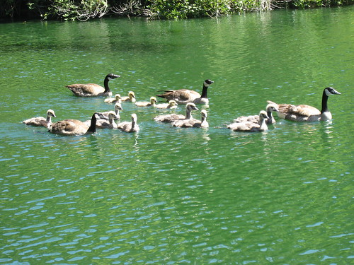 2012_05_19_a_Geese