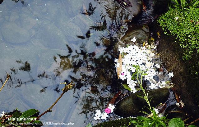 在小溪裡的落花,也自成一幅圖畫。