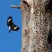Acorn Woodpecker in Flight
