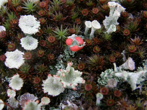 Lichen flowers?