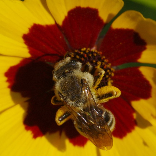 Coreopsis with bee