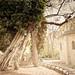 Il più vecchio albero di Parigi