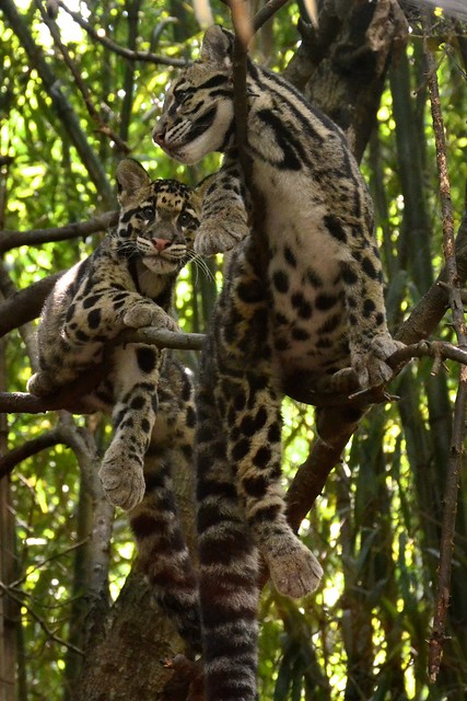 Photobomb Level: Clouded Leopard!