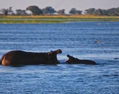 Hippos - Chobe National Park, Botswana