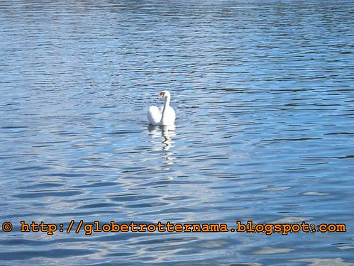 Swan at Drottingholm Palace