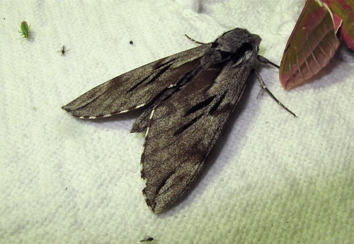 Pine Hawkmoth - Roof Terrace