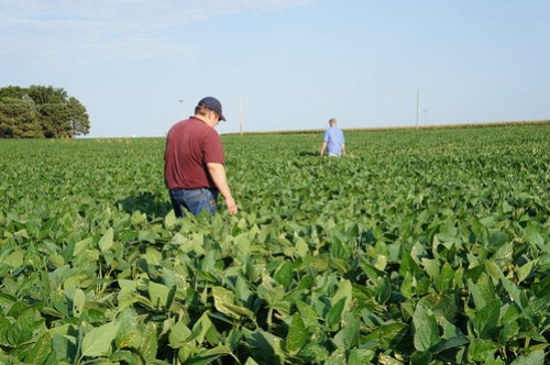 Dan and Andy walking the soybeans