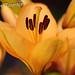 Yellow Lily - Macro