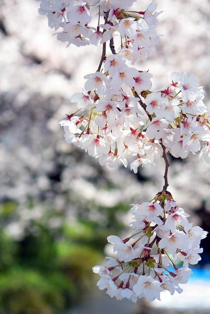 Sakura (6/6)
