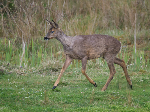 Roe Deer doe_3