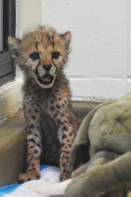 Happy Cheetah!