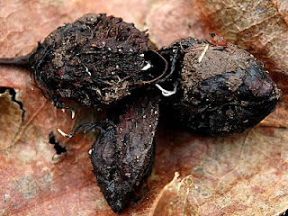 Xylaria carpophila Beechmast Candle Snuff