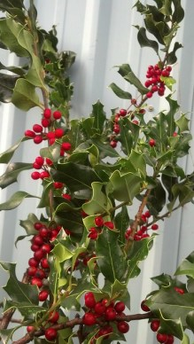 green holly with red berries