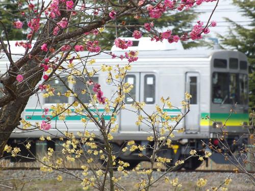 梅の花と7504F