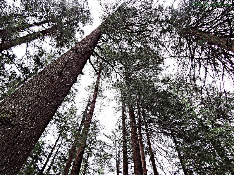 Deodar Trees