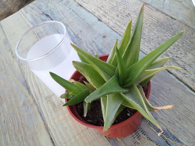 Aloe vera plant (Xanthorrhoeaceae)