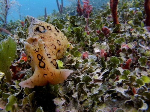 Spotted sea hare (Aplysia dactylomela), thank you Capt. Heidi for finding this guy for me!