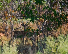 Impala . Okavango Delta - Botswana