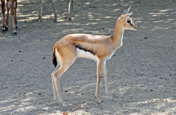 africa tanzania thomsons gazelle eudorcas thomsonii - 640×420